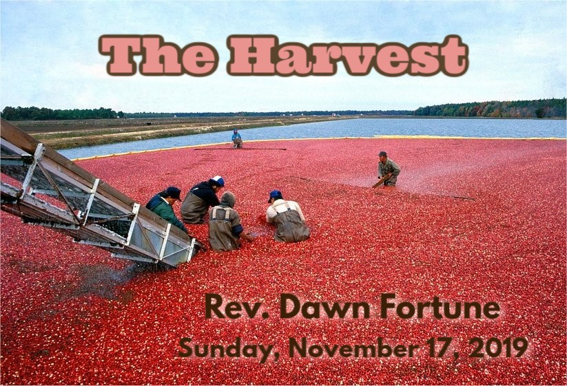 workers in waders harvesting cranberries from water-filled bog